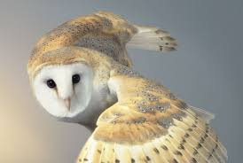 Six Reasons Why You Don't Want An Owl As A Pet Bird 55 Best Owl Images On Pinterest Barn Owls Children And Hunting Owls How To Feed Keep An Owlet Maya A Brief Introduction The Common Types Of Six Reasons Why You Dont Want An Owl As Pet Bird Introducing Gizmo Baby Whitefaced Youtube 2270 Animals 637 Oh Meine Uhus I Love Owls My Barn Cat Baby By Disneyqueen1 Deviantart All Things Nighttime Predator Cute Animals