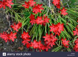 hesperantha schizostylis coccinea towe flower flowers