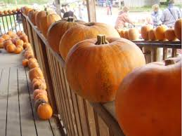 Puyallup Pumpkin Patch by Time For The Great Pumpkin Pierce County Pumpkin Patches