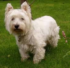 Hypoallergenic Dog Breeds That Dont Shed by 13 Shed Free Lap Dogs Dogs That Dont Shed Auto Design Tech