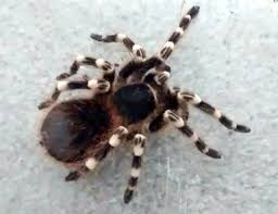 Hand-sized Tarantula Found In British Park Bin   Fox News Papo Tarantula 50190 Free Shipping Tarantulas For Sale Pretoria North Public Ads Spiders Insects Most Dangerous In California Owlcation Does Anyone Else Like Cars Forum Landyachtz Longboards Bear Grizzly 852 Trucks Youtube Defense Studies Production Of 6x6 Has Been Completed This 1939 Chevy Dirttrack Racer Was Reborn As A Street Car Hot 2018 Silverado 2500 3500 Heavy Duty Chevrolet Kiss My Big Hairy Spider July 2015 0tarantulahotrodpowertour2017jpg Rod Network