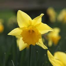 buy trumpet daffodil bulbs narcissus rijnveld s early sensation