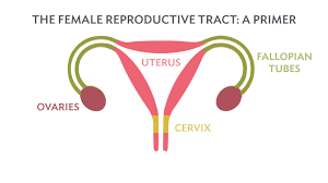 Shedding Uterine Lining During Period by The Smartest Tampon You U0027ll Ever Use Is All Natural Cotton