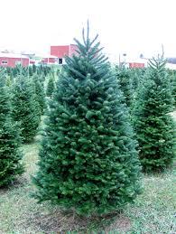 Fraser Christmas Tree Care by Fraser Jpg