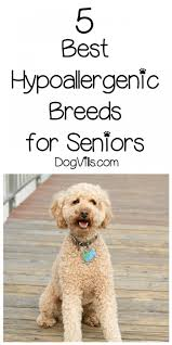 List Of Non Shedding Hypoallergenic Dogs by 5 Best Hypoallergenic Breeds For Seniors Dogvills