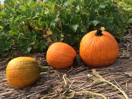 Best Pumpkin Patch Madison Wi by 10 Best Pumpkin Patches In Pennsylvania 2016