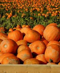 Where Did Pumpkin Patch Originate by Laity Pumpkin Patch U2013 Pumpkin Patch And Fun For The Family In