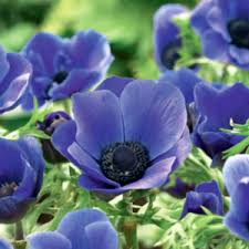 anemone blue poppy 10 pk crgardencentre