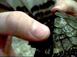 Turtle Shell Not Shedding by Our Turtle U0027s Shell Rot Symptoms Youtube