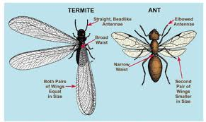 Ants with wings Should you be worried