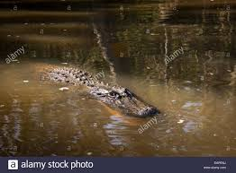 alligator bayou lake update louisiana alligator in a sw the bayou louisiana stock photo 75482558 alamy