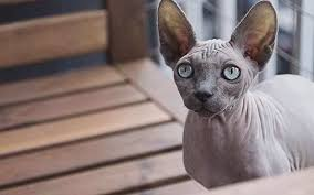 hairless cat price sphynx cat about breed information breed characteristics and