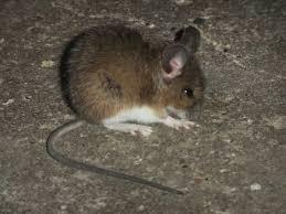 souris dans une maison finest maison souris maileg with souris