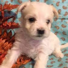 Morkies Do They Shed by Morkies The Complete Owners Guide To The Fantastic Morkie Breed