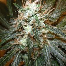 Atomic Northern Lights hybrid cannabis weed strain