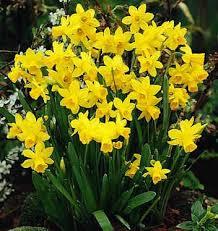 daffodil bulbs tulips bulbs daffodil flowers