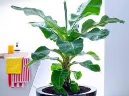 üppiger wuchs bananenpflanze wird zu groß teil der