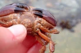 Halloween Hermit Crab by Halloween In The Cornish Rock Pools Cornish Rock Pools