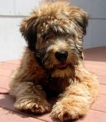 wheaten terrier puppy doggies pinterest wheaten terrier
