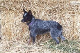 Blue Heeler Mix Shedding by 28 Miniature Blue Heeler Shedding Meet Zandas Black Face