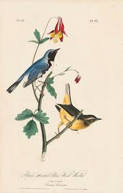 John James Audubon Octavo First Edition Circa 1839 Plate 95 Black Throated Blue Vintage BirdsVintage PrintsVintage