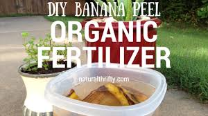 Natural Fertilizer For Pumpkins by How To Use Banana Water For Organic Fertilizer Natural Thrifty