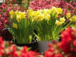 5 daffodil planting tips