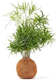 zimmerbonsai bonsai farn falcatus kokosfaser zimmerpflanzen