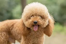 Top 10 Dogs That Dont Shed by What Dogs Don U0027t Shed 10 Breeds That Will Scorn Your Duster