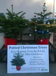 Potted Christmas Trees For Sale by Limerick Christmas Tree Centre