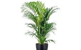 plante de bureau louer un palmier kentia comme plante de bureau