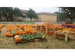 Pumpkin Patches Near Temple Texas by Pumpkin Patch In Seminole Heights Seminole Heights Fl Patch