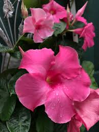 Fertilizer Requirements For Pumpkins by Growing Dipladenia And Mandevillas In Containers