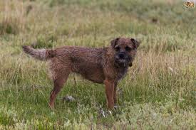 Border Terrier Non Shedding by Border Terrier Or Lakeland Terrier Which Is Best For You Pets4homes