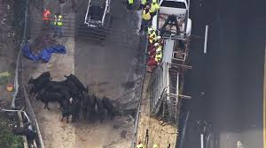 100 Cow Truck Photos S Loose In Metro Atlanta After Truck Crash FOX23