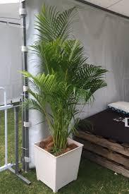 golden palm in pots golden palm white pot polo in city mr pot plants