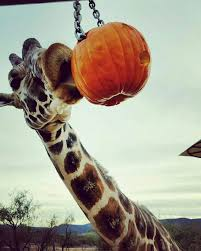 Pumpkin Farm Illinois Giraffe by 20 Best Animal Encounters At Six Flags Discovery Kingdom Images On