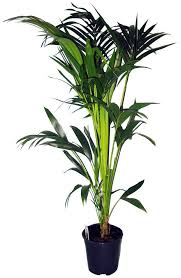 dominik zimmerpflanze kentia palme höhe 60 cm 1 pflanze