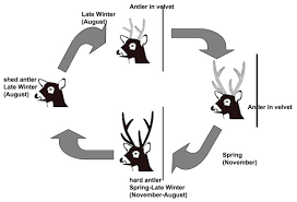 Deer Antler Shedding Cycle by Antler Cycle In And Yearling Pampas Deer Males Adapted From