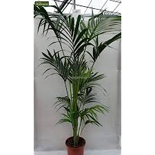 kentia palme howea forsteriana wunderschöne zimmerpflanze sehr pflegeleicht 160 180cm pot ø 24 cm