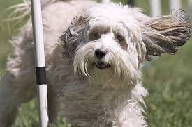 Best House Dogs That Dont Shed by Dogs That Dont Shed 23 Hypoallergenic Dog Breeds House Dogs That