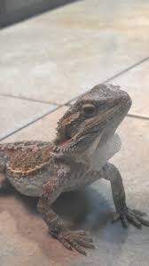 Bearded Dragon Shedding A Lot by Change In Eating Habits And Behavior Shedding U2022 Bearded Dragon Org