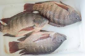 Nile Tilapia Fish On White Enamelware Stock Photo