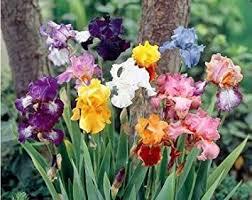 5 large mixed bearded iris rhizomes grocery gourmet