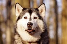 do huskies shed canna pet