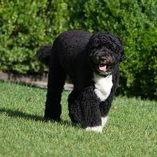 Portuguese Water Dog Non Shedding by 224 Best Portuguese Waterdogs Images On Pinterest Portuguese