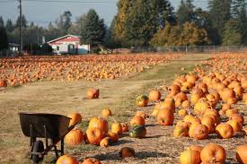 Hunter Farms Pumpkin Patch Olympia Wa by Thrifty Thurston Picks Pumpkins At Patches In Thurston County