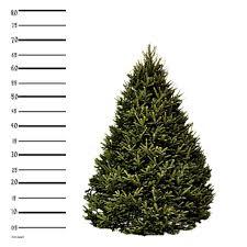 Fraser Christmas Tree Care by 6 Ft Fraser Fir Christmas Tree Hilltop Christmas Tree Delivery