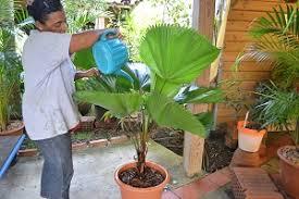 arrosage palmiers en pot