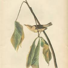 Vintage John Audubon Bird Prints Blue Winged Warbler Illustrations Antique